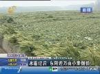冰雹过后 东阿近万亩小麦倒伏