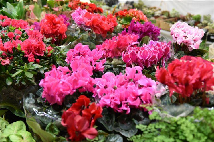 青岛花卉市场花开争艳 吸引市民前来购买