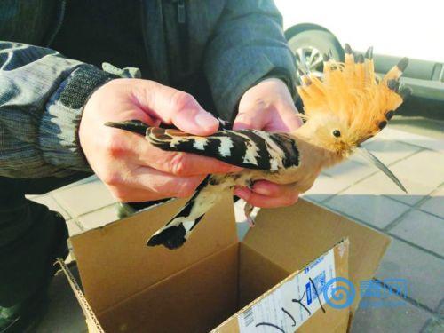 好可怜!这只身受重伤的怪鸟 竟是以色列国鸟