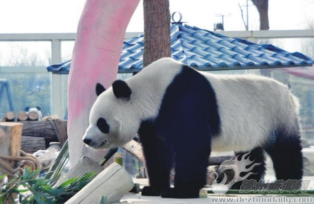 """大熊猫在德州生活状况 """"贤贤""""""""月亮""""过得挺嗨"""