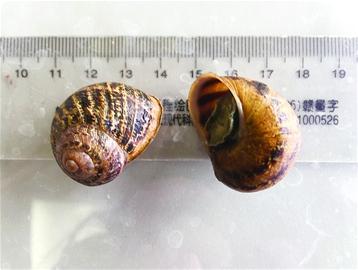 山东口岸首次截获散大蜗牛 能传播多种寄生虫病