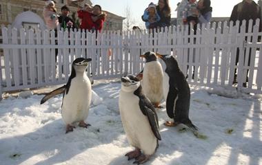 南极企鹅亮相山东烟台  举止呆萌吸引游客驻足