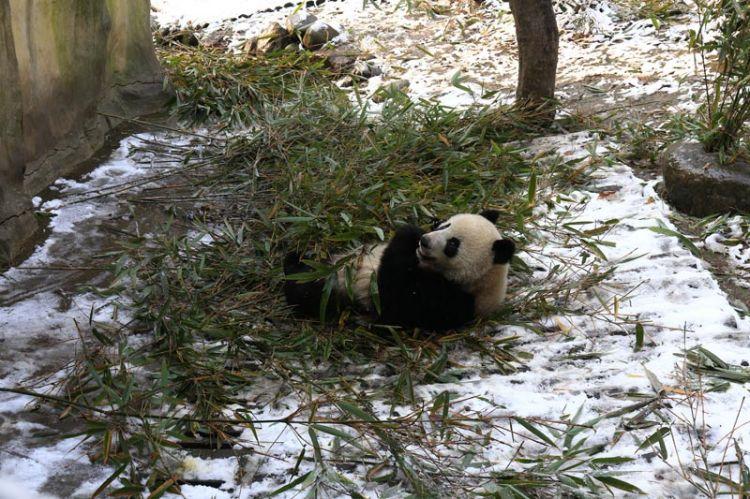 尽展萌态 成都大熊猫雪地里打滚撒欢兴奋不已(组图)