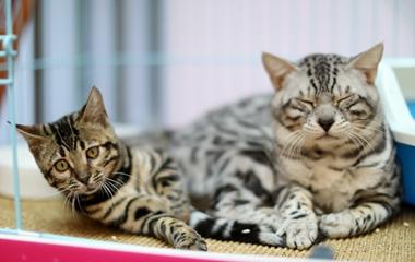 济南举办名猫展览 最贵宠物猫身价高达20万