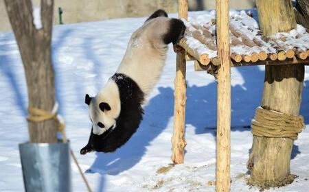 """沈阳""""功夫熊猫""""雪中显身手萌态十足"""