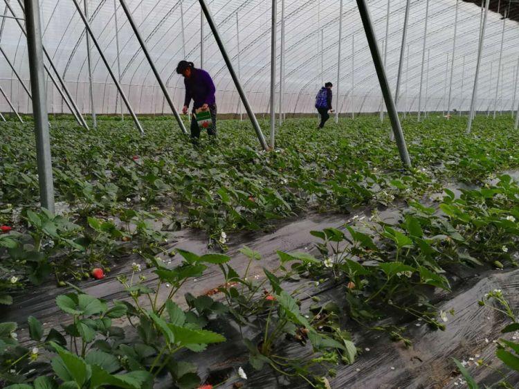 潍坊:产业帮扶好 草莓分外红