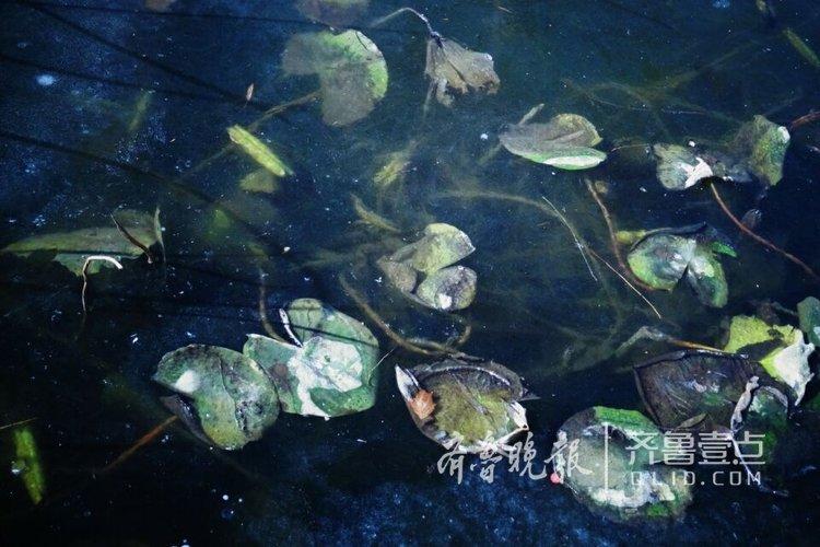 别样的美,济南大明湖冰封荷花美如画