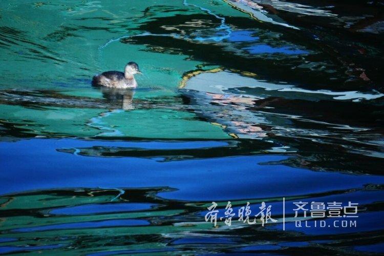 济南大明湖的小鸭子?它叫鸊鷉[pì tī]