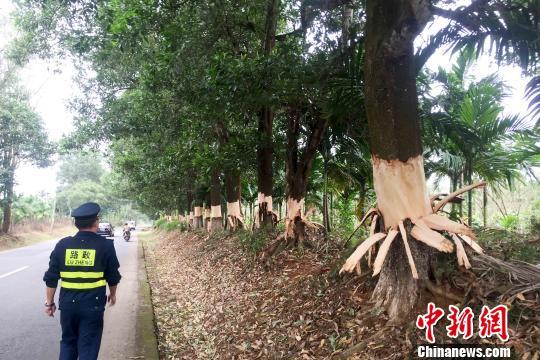 海南定安5名毁坏公路林嫌疑犯落网 100多棵树遭剥皮