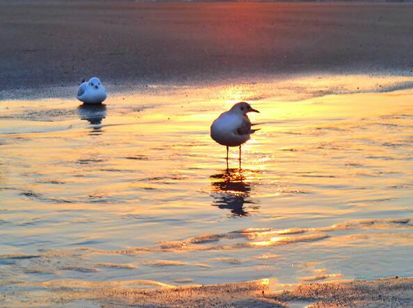 绝美 石老人浴场海水结冰 海鸥冰上起舞(图)