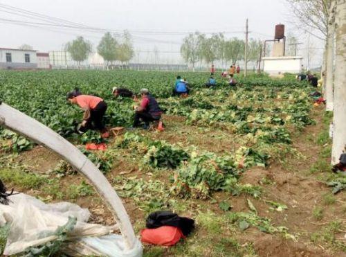 省级农业标准化基地 肥城24家