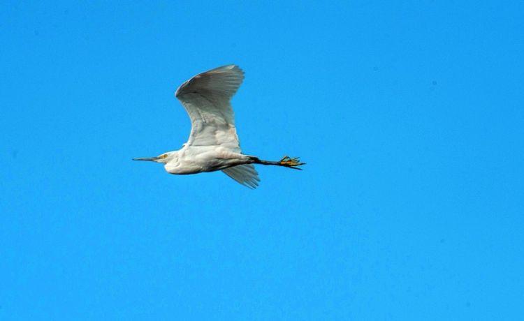 水上精灵轻舞白沙河 实拍大量在此过冬嬉戏水鸟