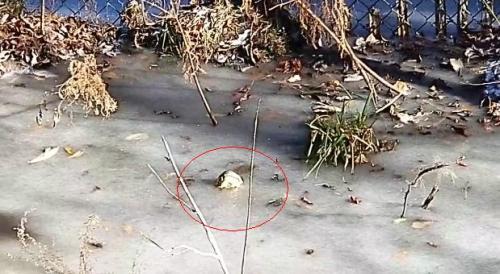 机智!美国严寒池塘冰冻 鳄鱼把吻部伸出冰面呼吸