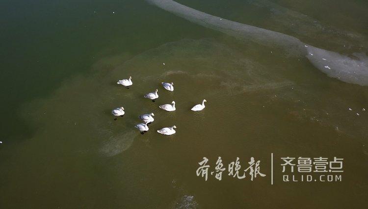 济南北郊冰封,市民担心天鹅们挨饿!