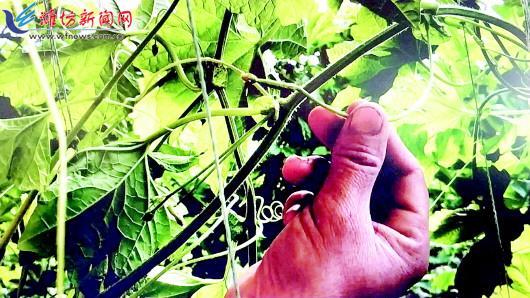 寿光菜农种下苦瓜难见果实 多数果实早早枯萎