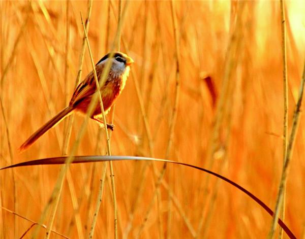 珍稀鸟类震旦鸦雀又现聊城