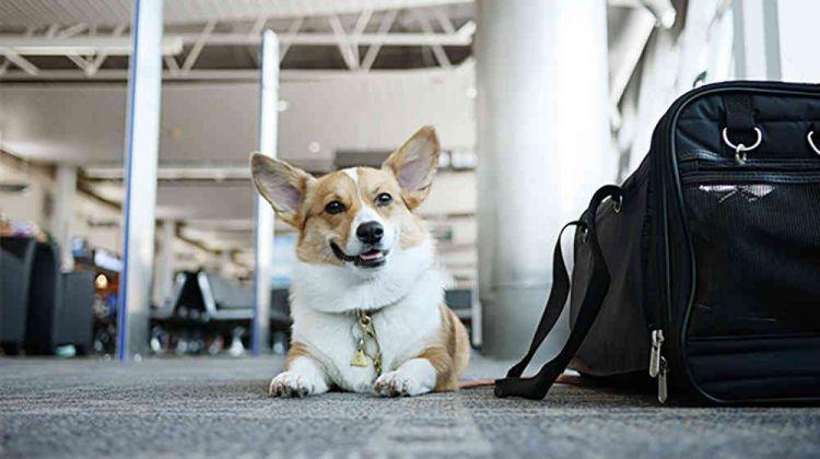 海航公告:宠物猫狗可伴主人坐飞机,收费暂定800元