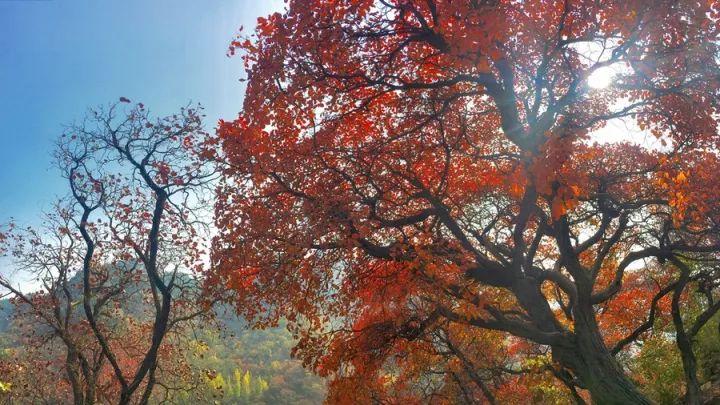 还去香山?告诉你隐藏在青岛的一处绝美红叶林