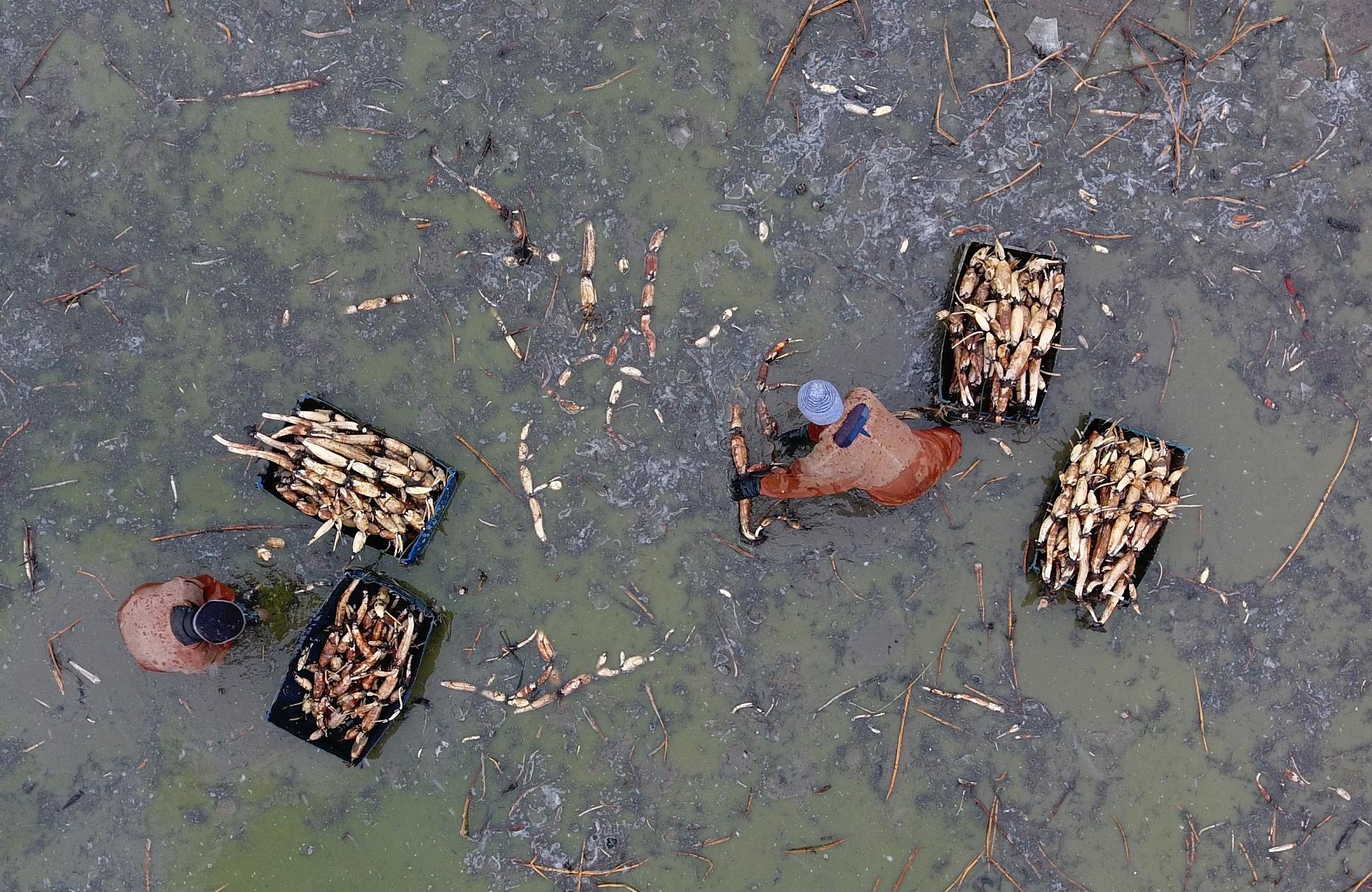 寒彻骨!青岛冬季挖藕人 每天花一两小时破冰