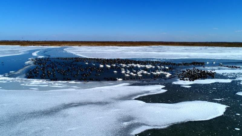 最美山东|航拍东营黄河口结冰 天鹅曼舞犹如冰上芭蕾