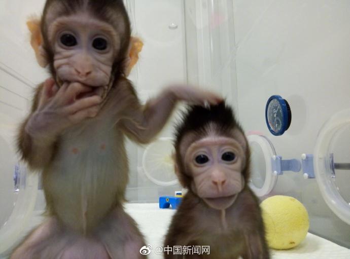 大突破!中国科学家成功培育全球首只体细胞克隆猴