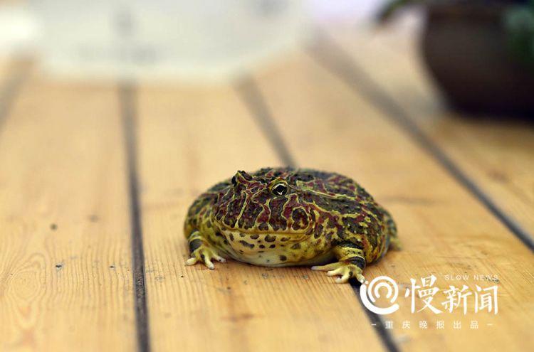 角蛙飼養快速入門