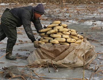 滨州职业挖藕人 一天挖600斤月入近万元