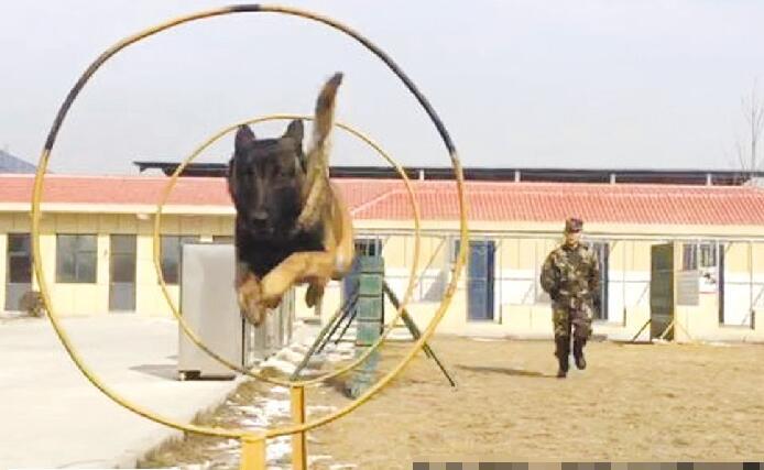 搜救犬是这样练成的 探访聊城训练基地