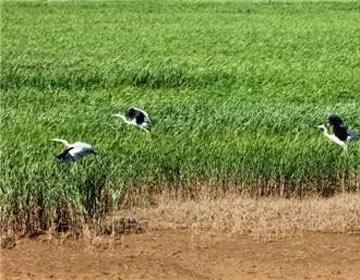 黄河岛正式挂牌为国家级湿地公园 天鹅游弋美景醉游人