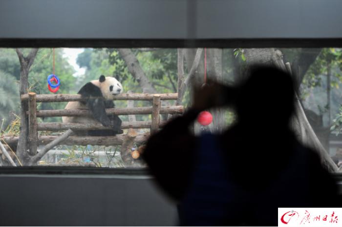 广州动物园大熊猫馆改造升级后开放 大熊猫生活惬意(组图)