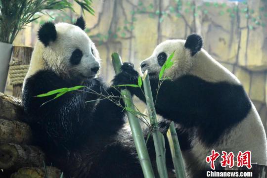 """龙凤胎大熊猫""""星语""""""""星愿""""空降福建泉州 萌翻古城民众"""