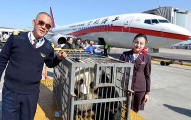 """五星机长相伴大熊猫""""华龙""""温暖回家路"""