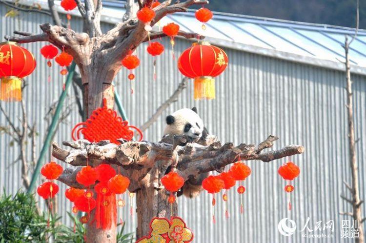 17只熊猫宝宝集体亮相向全国人民拜年 送最萌祝福