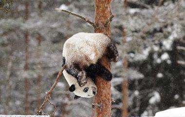 赴芬兰大熊猫异国过年 雪中玩耍倒挂金钩