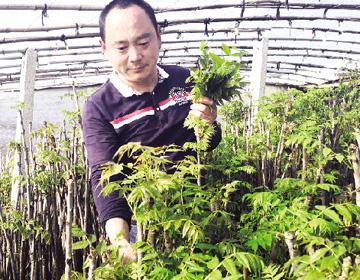 临朐大棚里过春节采摘红香椿 头茬每斤能卖到20元