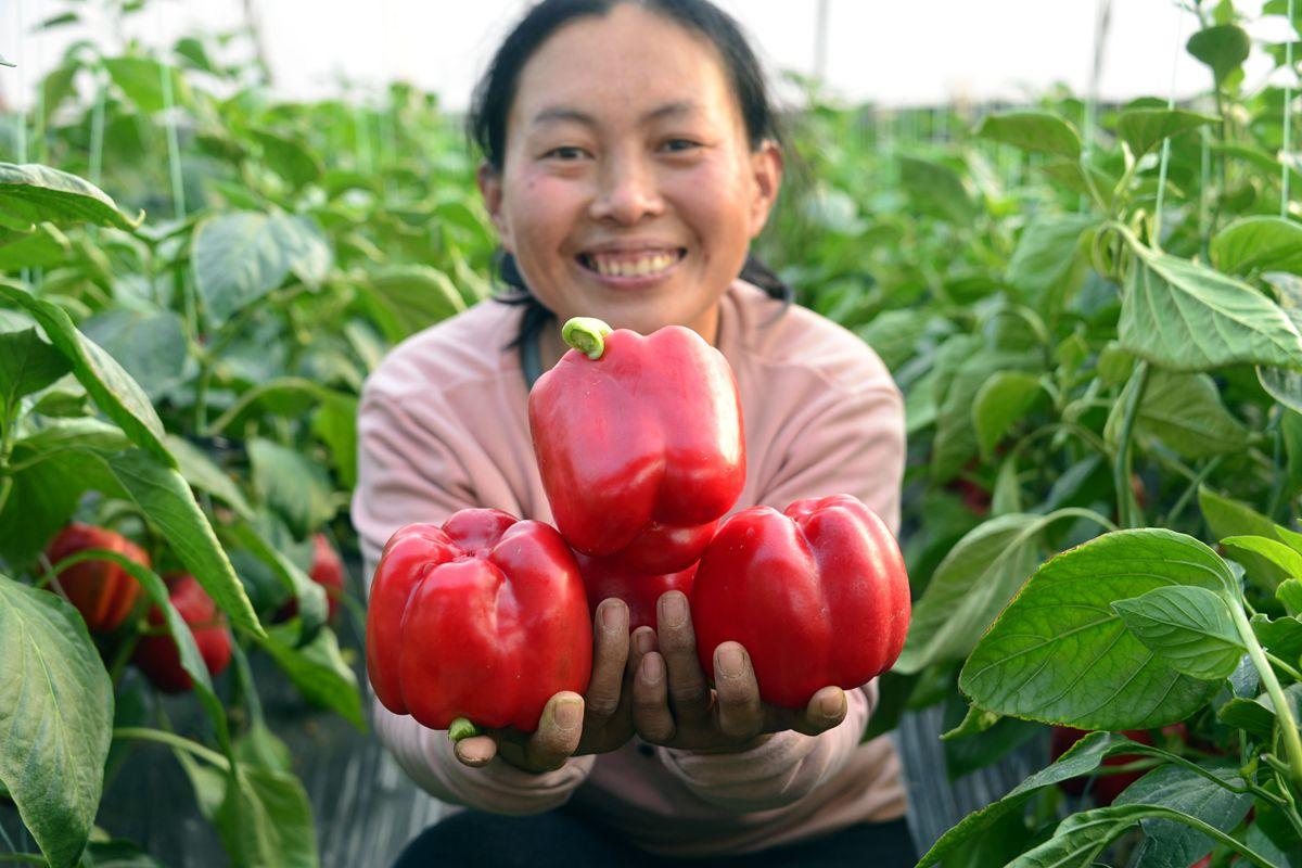 聊城特色彩椒种植 促增收助力乡村振兴