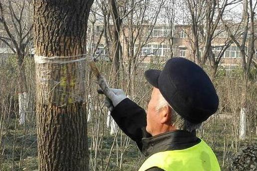 树木缠上胶带还涂抹粘胶??聊城市园林处:专防病虫害