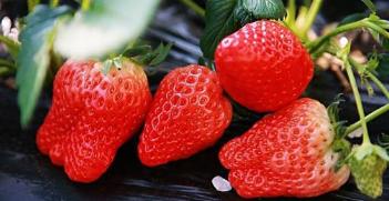 淄博今起开展蔬菜水果质量安全监督抽查 草莓列为重点抽检水果