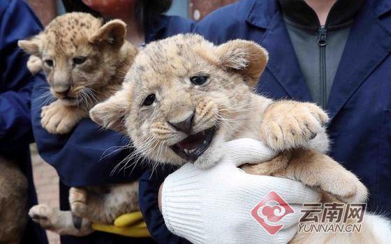 小狮子们对新环境非常好奇,表现得毫不怕生,在玩耍中展露超萌憨态的