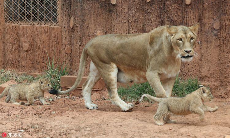 昆明圆通动物园五胞胎小非洲狮首秀亮相 活泼好动眼神