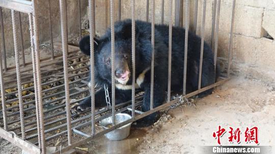 图为涉事黑熊。 钟欣 摄