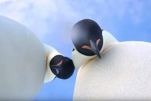 """摄影机被撞翻后,企鹅跑到镜头前""""自拍""""。(图片来源:视频截图)"""