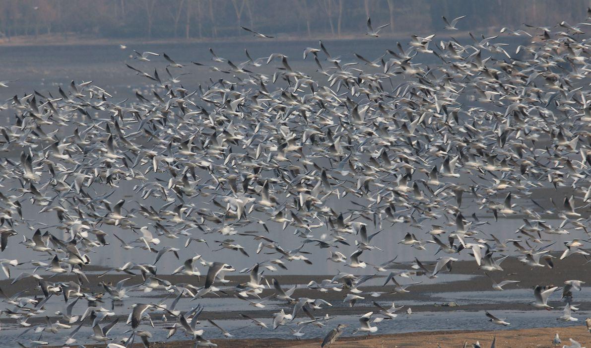 青岛河流入海口万鸟飞 奏响春之声圆舞曲