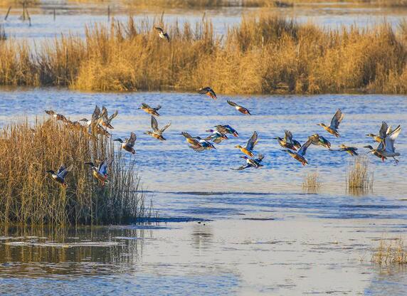春江水暖鸭先知 胶州湾湿地现大批罕见野鸭
