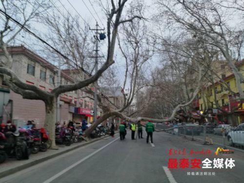 泰安市青年路一棵55年法桐被大风刮倒
