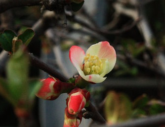 春满枝头叶染绿,木瓜海棠俏枝头
