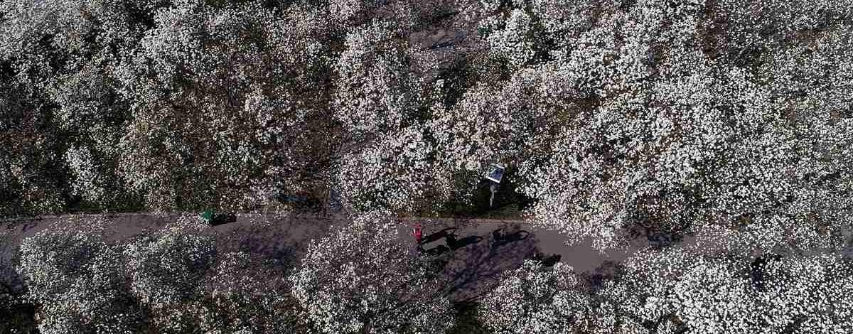 济南百花公园600株玉兰盛开 俯瞰如皑皑白雪