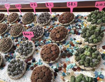 一大波萌肉来袭 首届中国多浆(多肉)植物展在青州开展