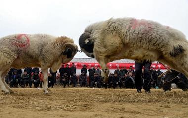 聊城农村举行民俗文化活动 村民斗鸡斗羊讨彩头