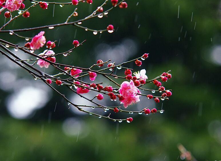 高清:连绵春雨周日光临岛城 水润杏梅美得令人陶醉